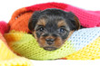 Cute yorkshire terrier puppy portrait inside a scarf closeup