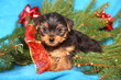Yorkshire Terrier Puppy with Red Christmas Bow