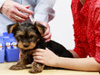 Veterinary treatment - vaccinating the Yorkshire puppy