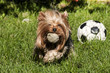 Yorkshire terrier playing with balls on grass garden